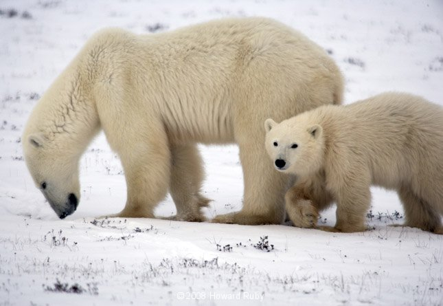 pictures of polar bears for kids wwwimgkidcom the
