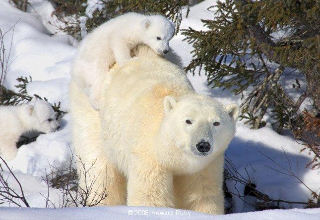 pictures of polar bears for kids wwwimgkidcom the